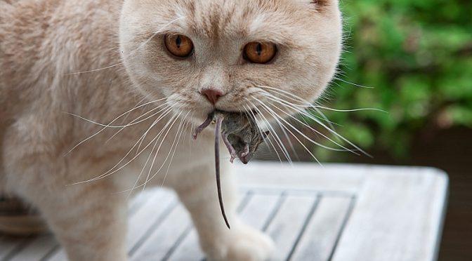 Miš in mačka